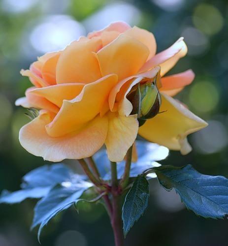Стихи о розе классиков