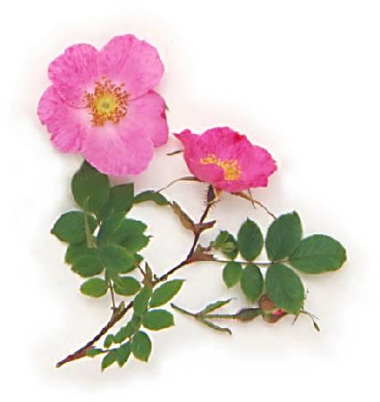 Стихи о розах - Красивая музыка и стихи о розах - Блог о розах - ДИКАЯ РОЗА